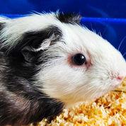 Guinea Pig American Betina Dewasa Full Perlengkapan