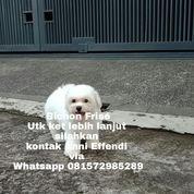 Anjing Ras Bichon Frise