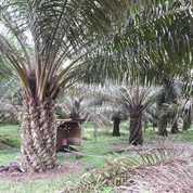 Kebun Sawit Di Taluk Siap Panen 40 Ha (23755671) di Kab. Kuantan Singingi