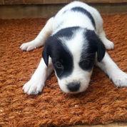 Anak Anjing Jenis Terrier Lucu Berbulu Halus