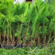 Pohon Cemara Pinus 081292127731 (23843727) di Kota Tangerang Selatan