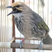Jantan Burung Cucak Rowo Asli Sumatra (23856551) di Kota Depok