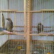 Sepasang Burung Cucak Rowo Siap Ternak Body Ahooi (23860727) di Kab. Kotawaringin Barat