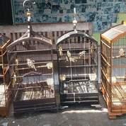 Pasangan Anakan Cucak Rawa Ropel (23860959) di Kab. Kotawaringin Timur