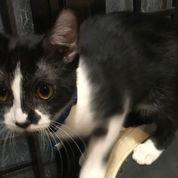 Kucing Persia Medium Short Hair Black & White