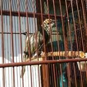 Buat Kotes Burung Cucak Rowo (23901923) di Kab. Banjarnegara