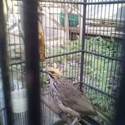 Indukan Burung Cucak Rawa Super Body Bagus (23902275) di Kab. Banyumas