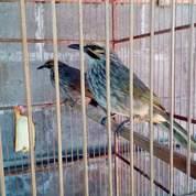 CUCAK Rowo Sejodoh Buat Produksi (23902627) di Kab. Blora