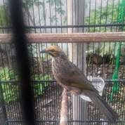 Burung Cucak Rawa Isian Volume Besar (23904071) di Kab. Cilacap