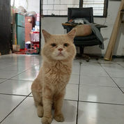 Kucing Anggora Jantan (23908411) di Kota Tangerang