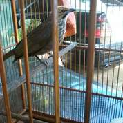 Burung Cucak Rowo Body Manyus No Cacat (23952015) di Kota Malang