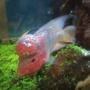 Ikan Lohan/ Louhan SRD