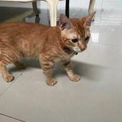 Kucing Persia Medium Short Hair Tiger Colour