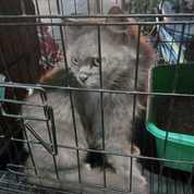 Kucing Anggora .Umur Nya 6 Bulan