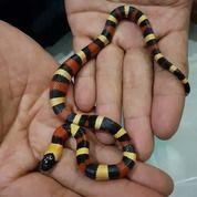 Milk Snake Apricot Pueblan Baby (24079927) di Kota Jakarta Barat