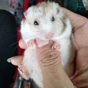 Hamster Yang Lucu (24135007) di Kota Jakarta Barat