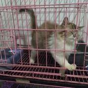 Kitten Persia 4 Bln Bulu Panjang Jogja