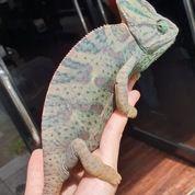 Veiled Chameleon Female + Kandang