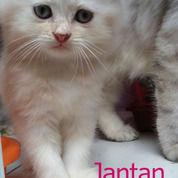 Kucing Persia Medium Longhair Usia 2 Bulan