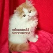 Lepas Adopsi Cute Male Flatnose Kitten
