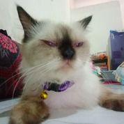 Kucing Persia Himalaya (25596615) di Kota Surabaya