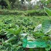 Supplier Janggelan Kering Wonogiri | Java Cincau Pacitan (25679071) di Kab. Pacitan