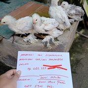 Ayam Brahma Anakan (25743131) di Kota Magelang