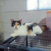 Kucing Usia 5 Bulan Anggora (25759907) di Kota Jakarta Selatan