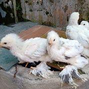 Anakan Ayam Brahma 1-2bln (25779523) di Kota Magelang