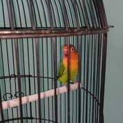 Burung Lovebird (25780347) di Kota Jakarta Timur