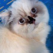 Kucing Persia Himalaya (25848703) di Kab. Kuningan