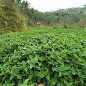 Janggelan Cincau Hitam Kering Ponorogo | Java Cincau (25851255) di Kab. Pacitan