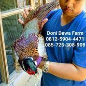 Ring Neck Pheasant Anakan & Dewasa (25883483) di Kota Magelang