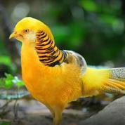 Ayam/ Burung Yellow Pheasant (25893119) di Kota Magelang