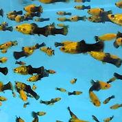 Ikan Hias Golden Black Molly (26044187) di Kota Depok