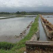 Tanah Sawah Produktif Datar Di Jembrana Bali (26125487) di Kab. Jembrana