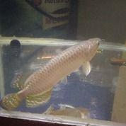 Ikan Arwana Jardini (26159111) di Kota Bekasi