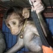Beruk Anakan Baby Beruk (26164815) di Kota Jakarta Selatan