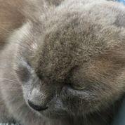 Kucing Anggora Abu (26184367) di Kota Surabaya