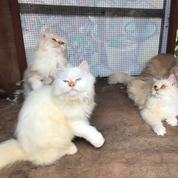 Tersedia Kucing Anggora 4 Ekor Umur 8 Bulan Dan 2 Ekor Umur 18 Bulan (26196075) di Kota Bukittinggi