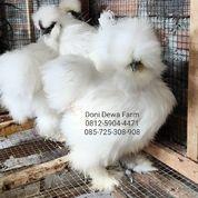 Ayam American Silkie/ American Silky (26294967) di Kota Magelang