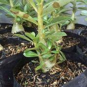 Tanaman Adenium Arabicum (26378351) di Bojong Gede