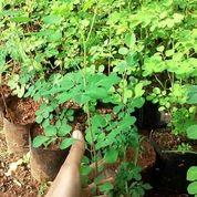 Pohon Kelor Anakan (26378411) di Bojong Gede