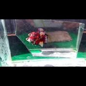 Ikan Cupang Mantap (26491243) di Kab. Garut