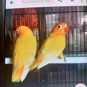 Start Lovebird Ruhman MH/MM Cowo N Cewe (26536235) di Kota Jakarta Pusat