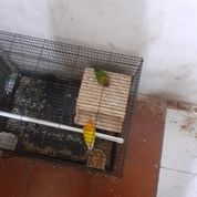 Indukkan Luckbird, Lovebird Biola Split/Hibrid MH/MM N Parkit MM (26709843) di Kota Jakarta Pusat