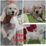 Anakan Anjing Golden Bigbone (26728059) di Kota Tangerang