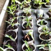 Bibit Seedling Anggrek Cattleya, Vanda (26740475) di Kota Malang