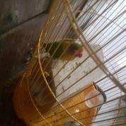Lovebird Pikachu MH Cowo N Cewe( BURUNG BABE/BUNDA )..Hm.. (26741783) di Kota Jakarta Pusat