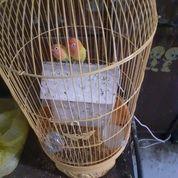 Lovebird All Biola MH/MM Cowo N Cewe (26742083) di Kota Jakarta Pusat